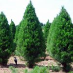 Real Christmas Trees Peninsula